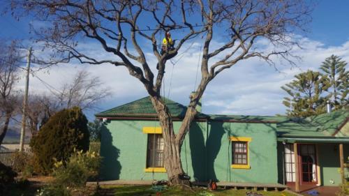 Tree Cable  Bracing